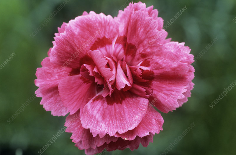 Pink (Dianthus 'Royalty')