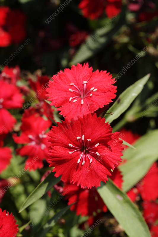 Chinese pink (Dianthus 'Ideal Scarlet')