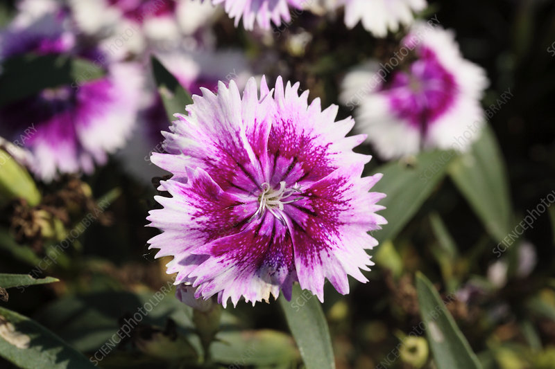 Dianthus 'Ideal Cherry Picotee'
