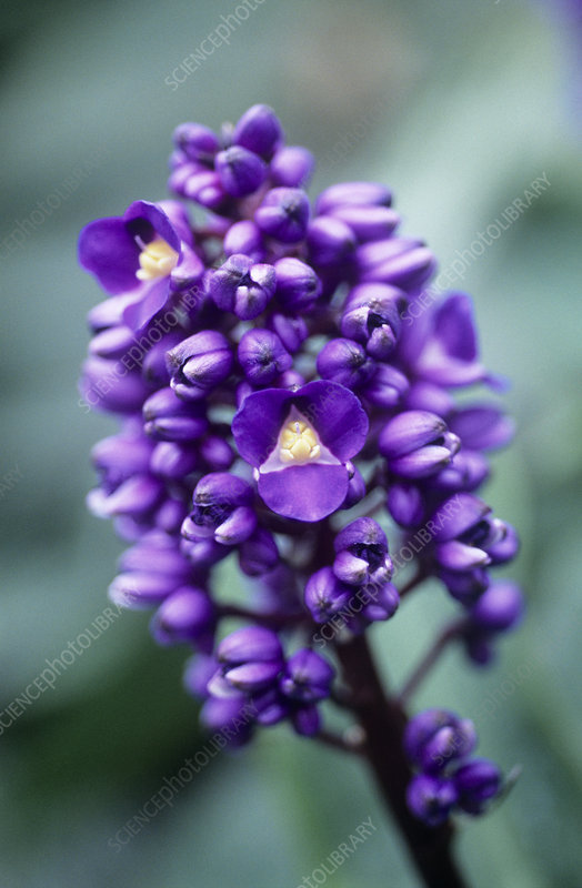 Blue ginger (Dichorisandra thyrsifolia)