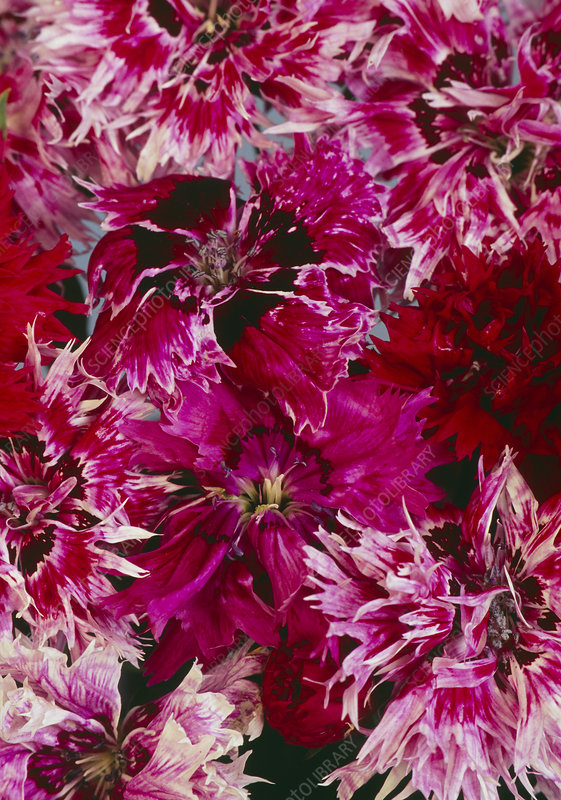 Dianthus chinensis 'Double Gaiety'