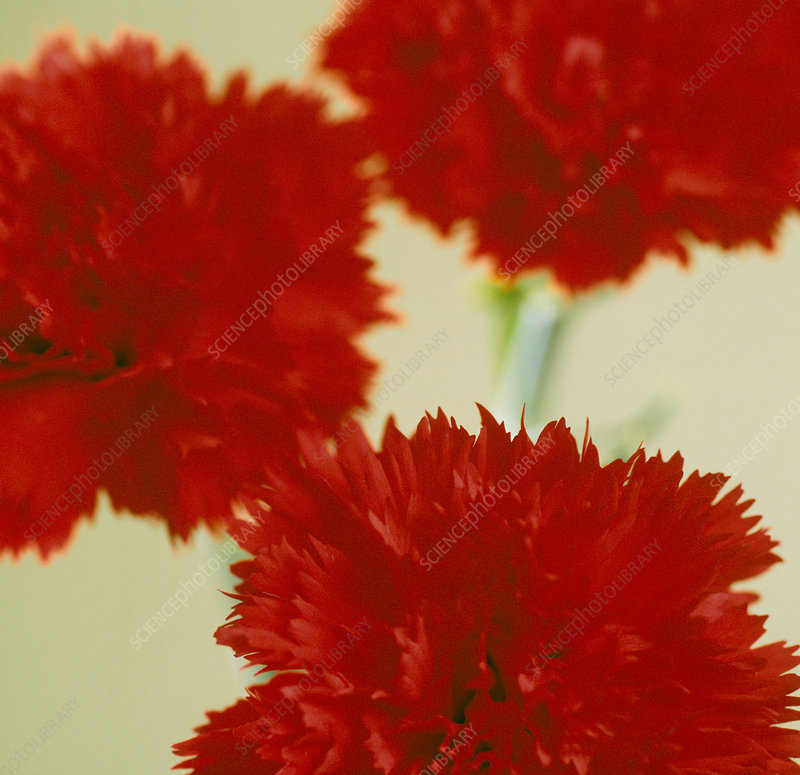 Pinks (Dianthus sp.)