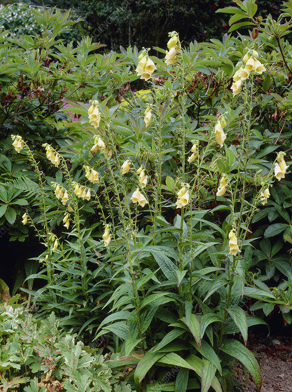 Digitalis davisiana