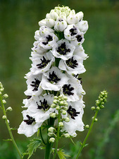 Delphinium 'Magic Fountains White'