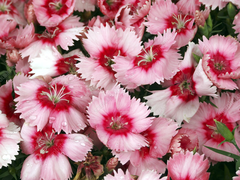 Dianthus 'Strawberry Parfait'