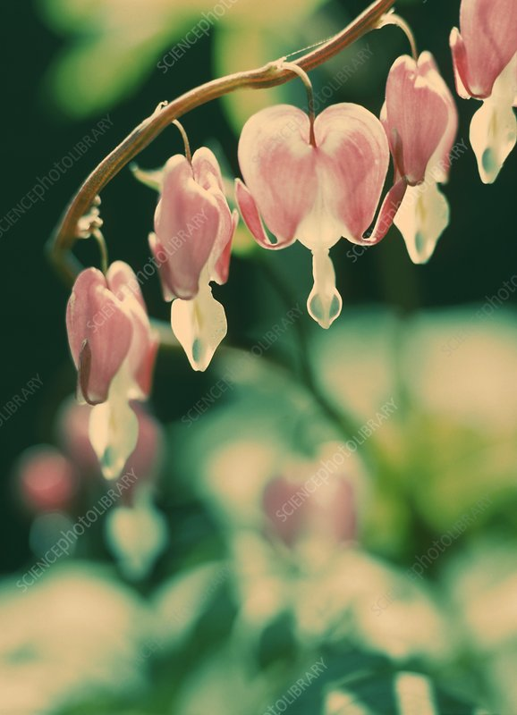 Bleeding heart flowers (Dicentra sp.)