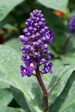 Blue ginger (Dichorisandra thyrsiflora)