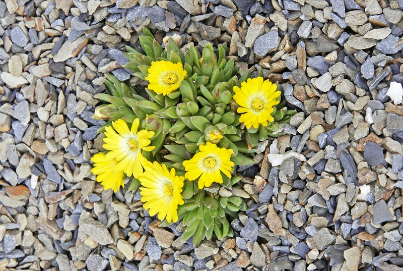 Ice plant 'Gold Nugget'