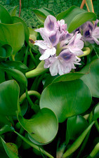 Eichhornia crassipes Water Hyacinth.