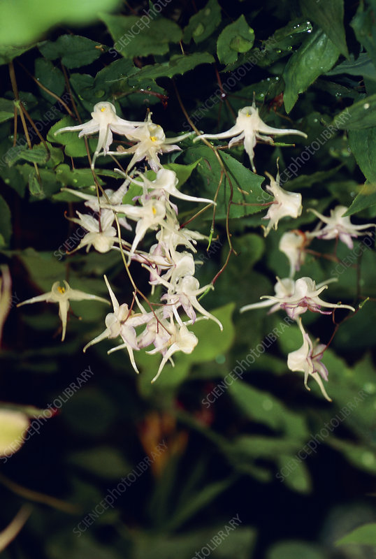 Epimedium grandiflorum.
