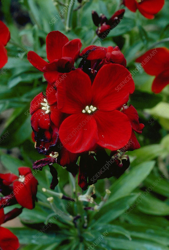 Erysimum BLOOD RED.