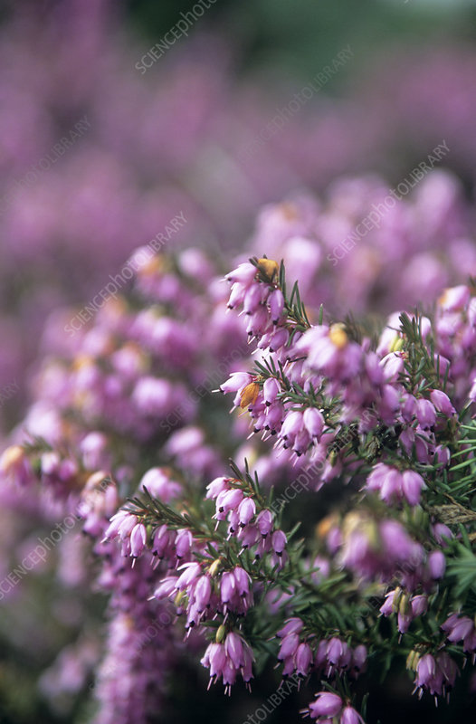 Heather (Erica carnea)