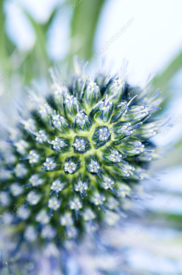 Sea holly (Eryngium sp.)