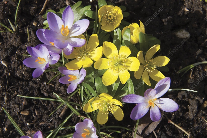 Winter acconite and crocus flowers