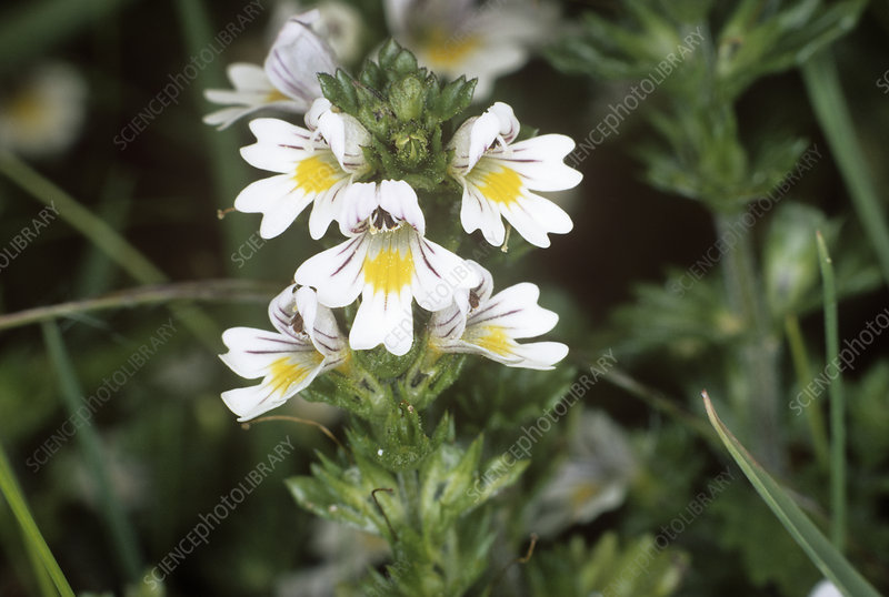 Common eyebright (Euphrasia nemerosa)