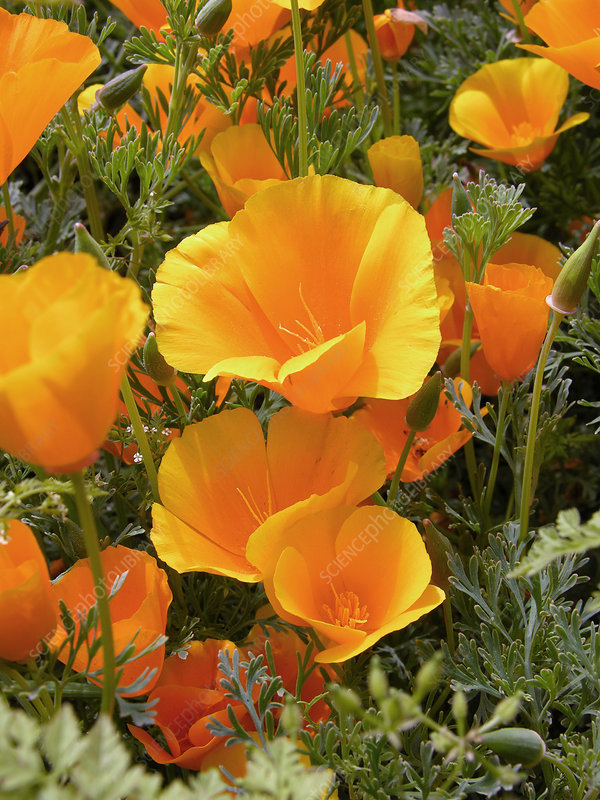 Poppies (Eschscholzia californica)