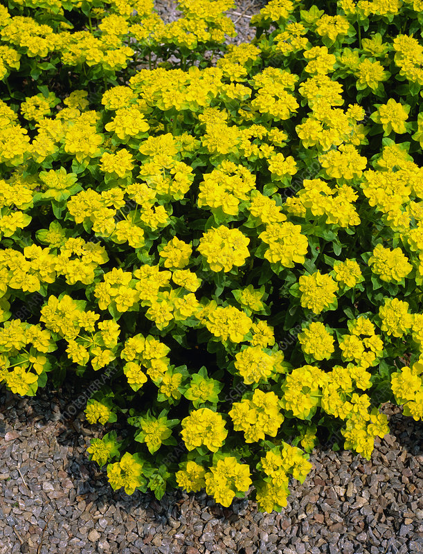 Cushion spurge (Euphorbia polychroma)