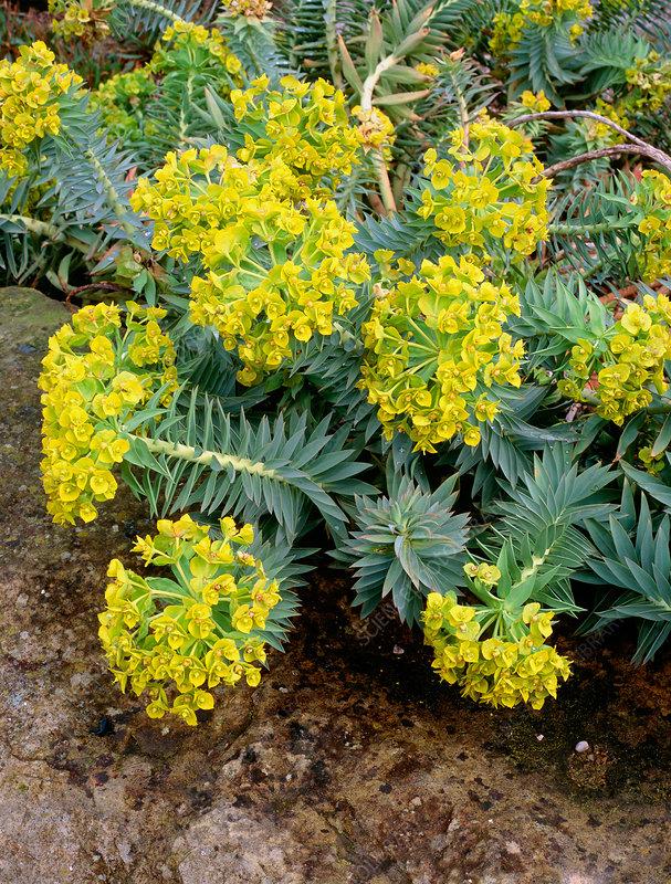 Spurge Euphorbia Rigida Stock Image B808 1376 Science