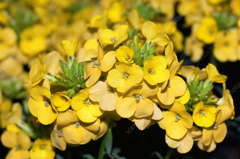 Wallflowers (Erysimum 'Dawn Breaker')