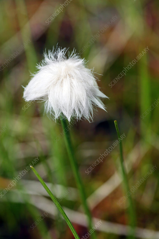 Cotton grass (Eriophorum sp.)