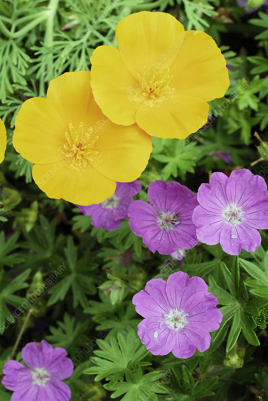 California poppies and cranesbill flowers