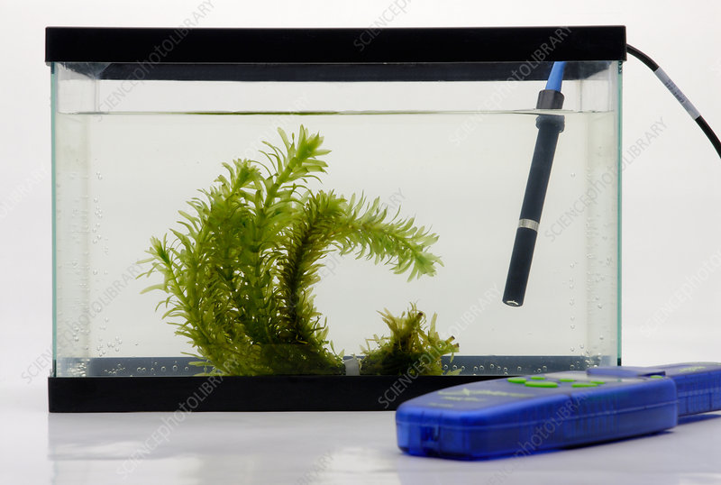 Pondweed in aquarium tank