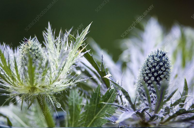 Sea holly (Eryngium bourgatii)