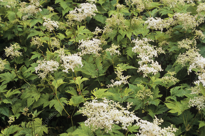 Meadowsweet (Filipendula purpurea)