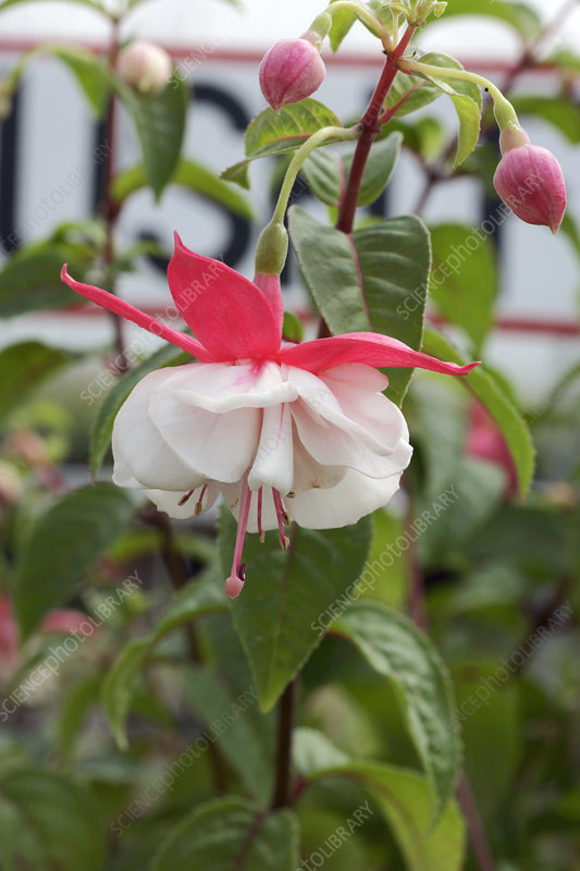 Bush fuchsia (Fuchsia 'Moonbeam')