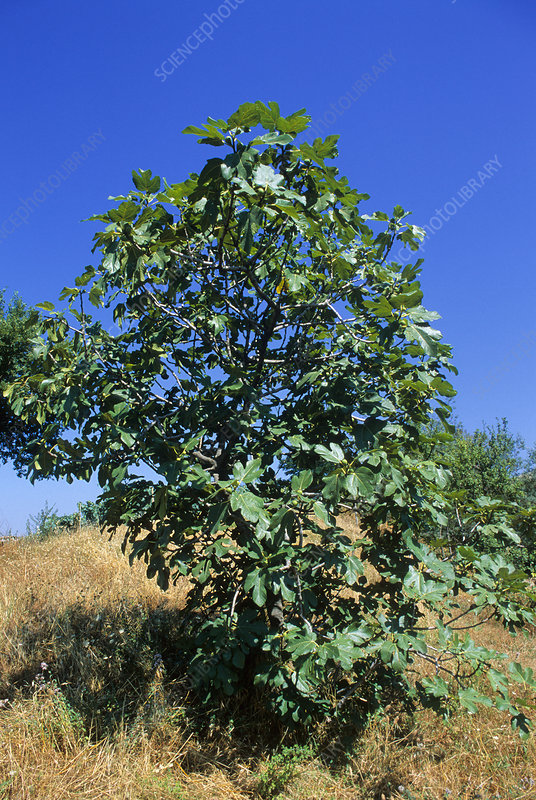 Fig tree (Ficus carica)
