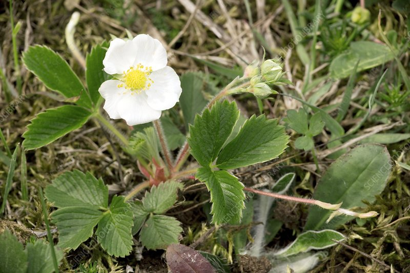 Musk strawberry (Fragaria moschata)