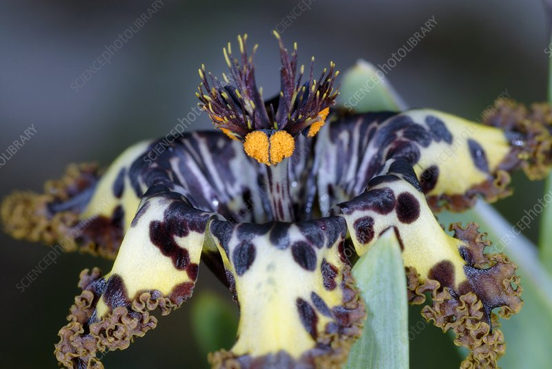 Sea spider iris flower (Ferraria crispa)