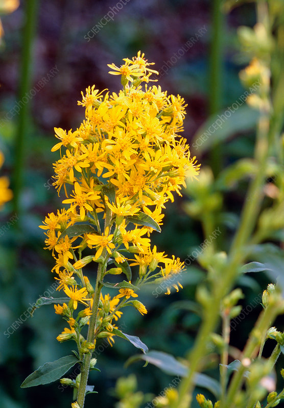 Goldenrod growing wild Latterbarrow Cumbr