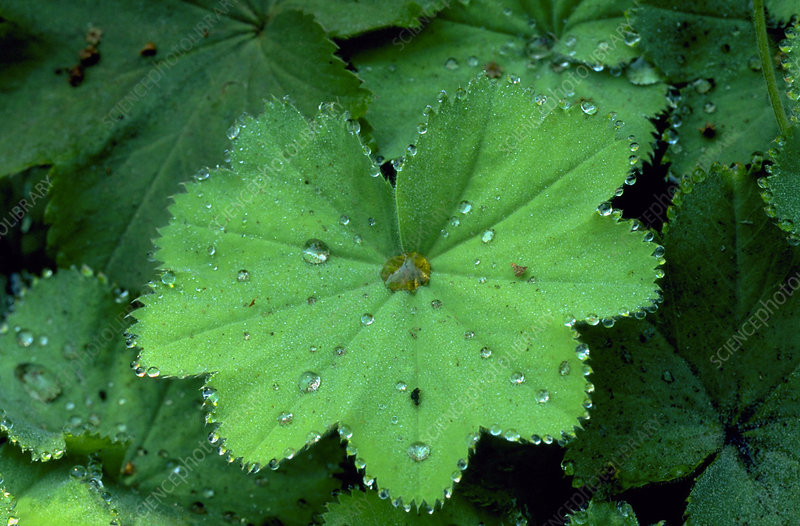 Guttation on Alchemilla mollis.