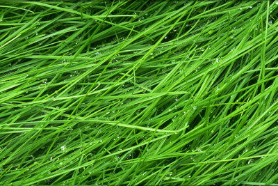 Grass with dew 99A.