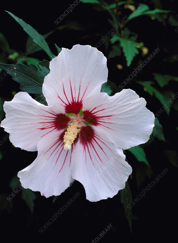 Hibiscus syriacus var Red Heart.