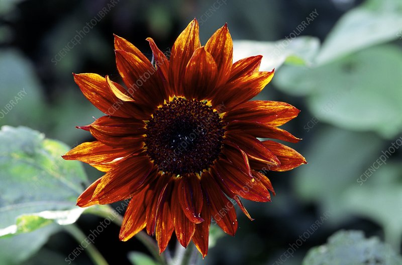Helianthus anuus RUBY SUNSET.