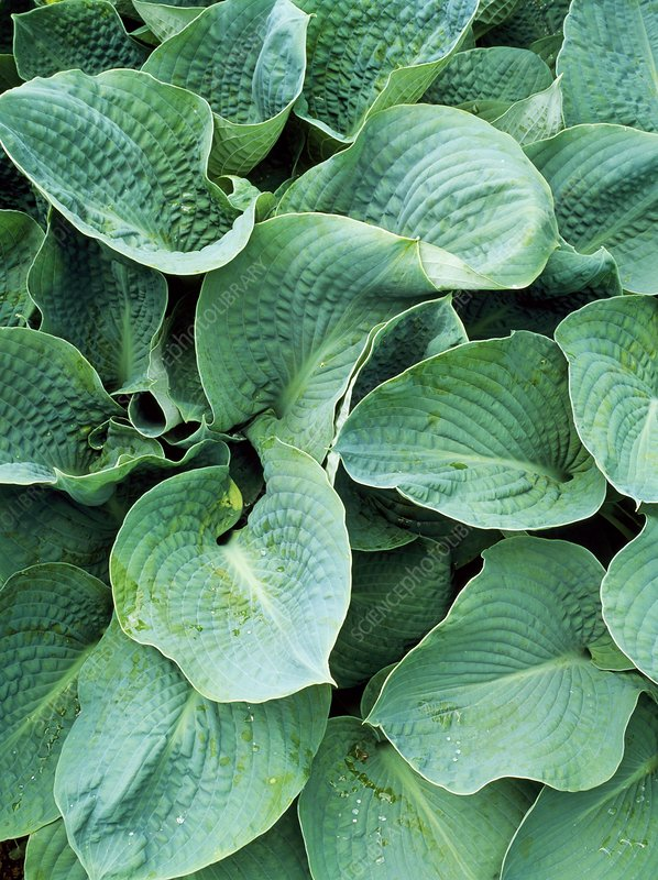 Hosta Big Daddy