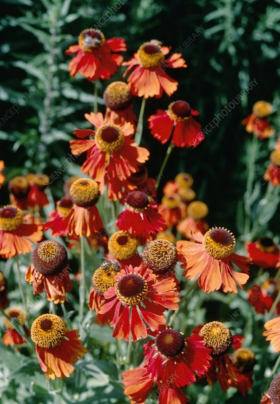 Helenium MOERHEIM BEAUTY.