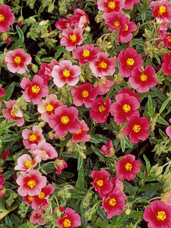 Helianthemum Ben Ledi