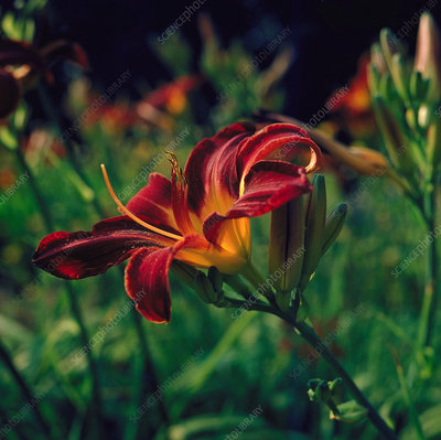 Hemerocallis STAFFORD.