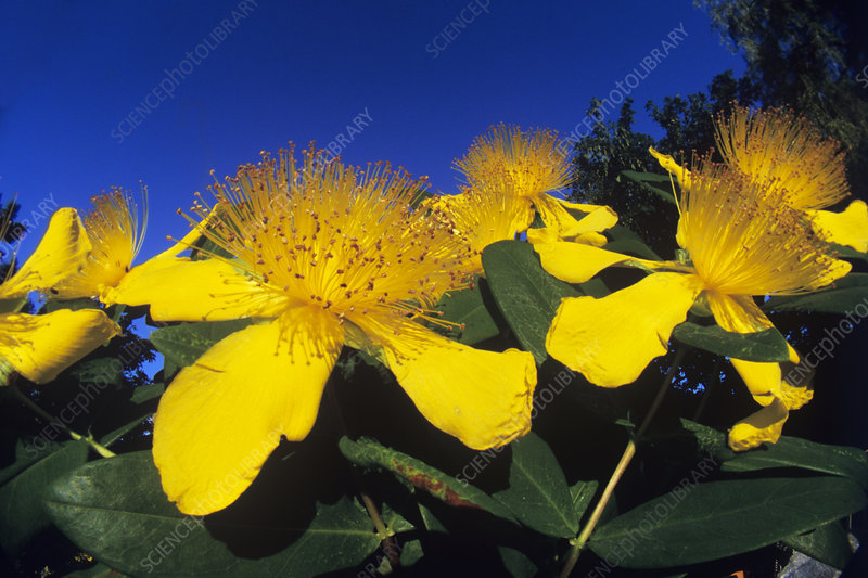 Rose of Sharon (Hypericum calycinum)