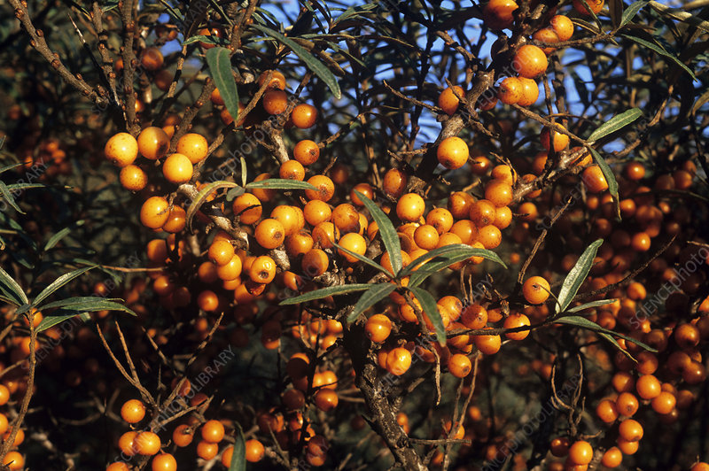 Sea buckthorn berries