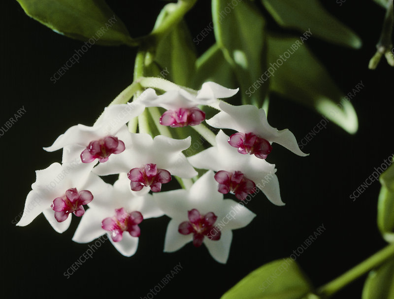 Miniature wax plant (Hoya bella)