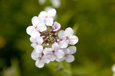 Sweet rocket (Hesperis matronalis)