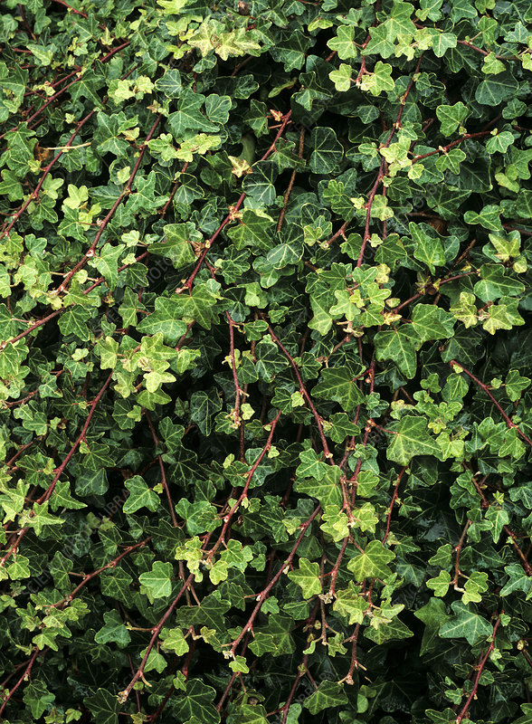 Common ivy (Hedera helix 'Duckfoot')