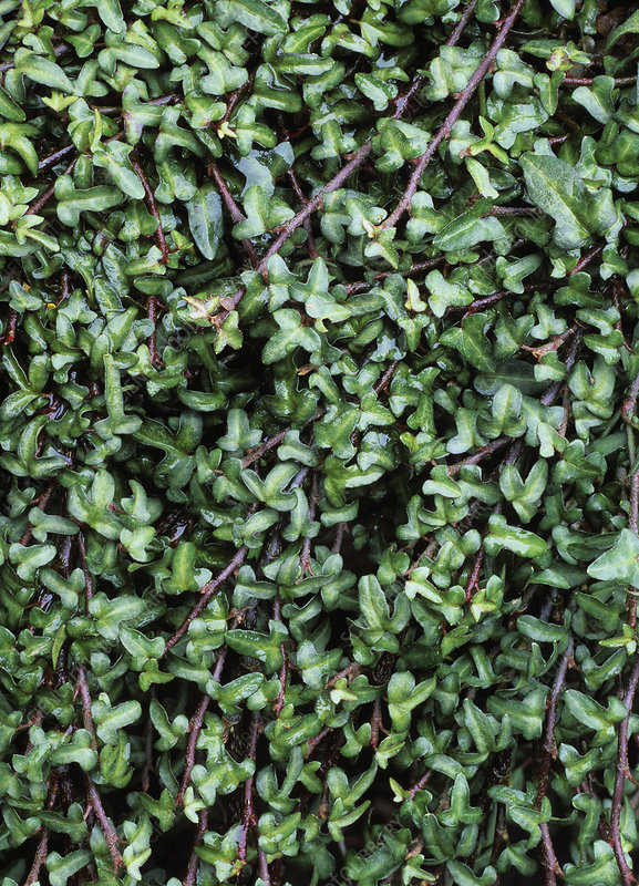 Common ivy (Hedera helix 'Harry's Dwarf')