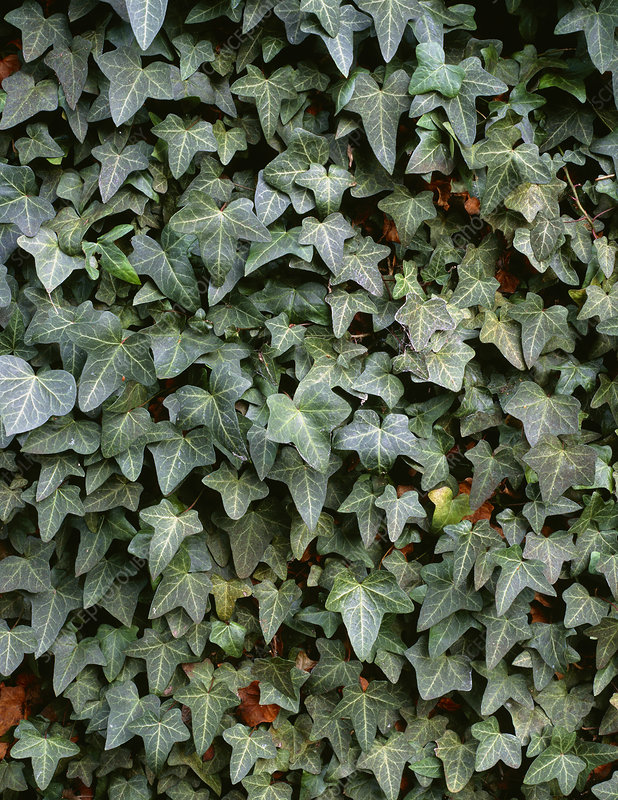 Common ivy (Hedera 'Cuspidata Minor')