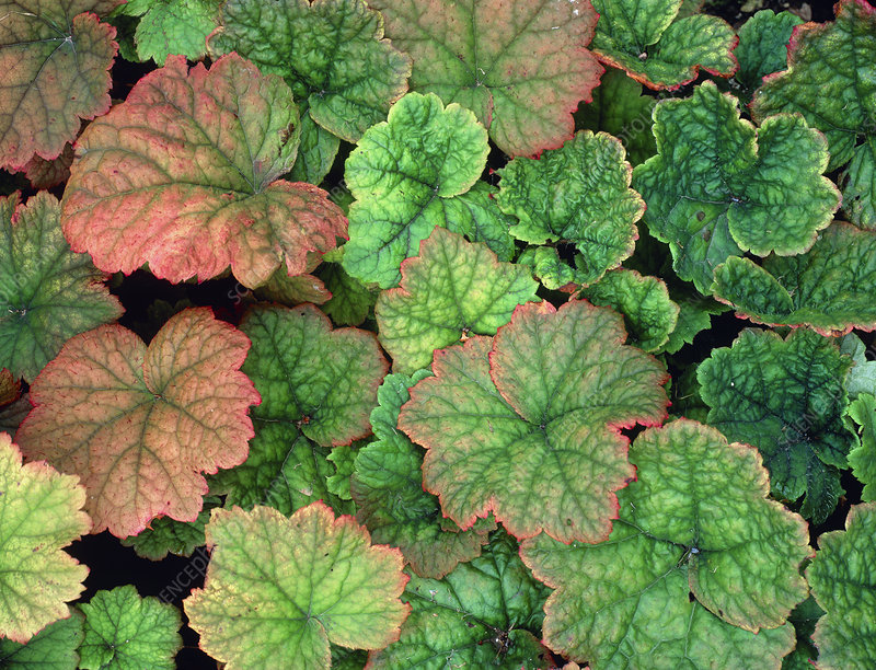 Heuchera 'Scintillation'