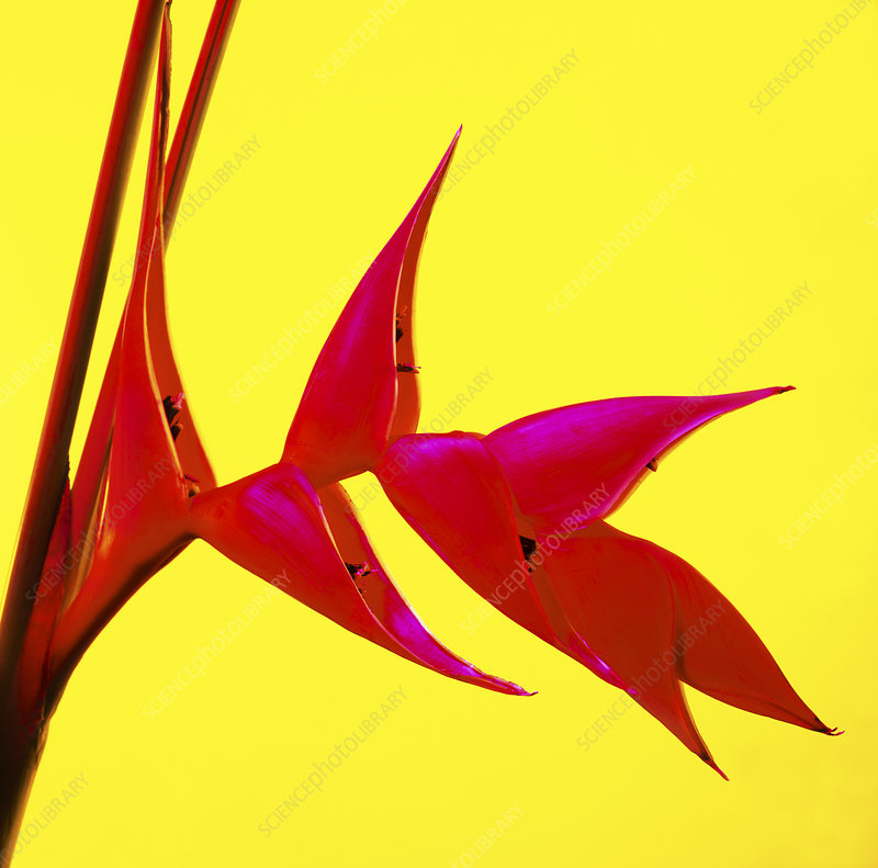 False bird of paradise (Heliconia sp.)